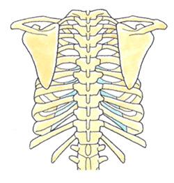 肩甲骨全体図