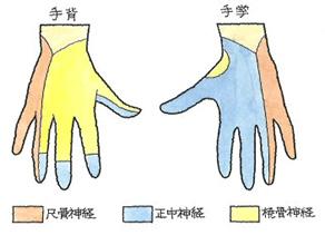 手背、手拳の尺骨神経・正中神経・橈骨神経