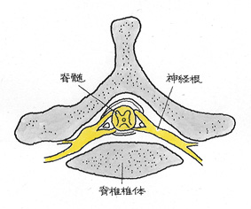 脊髄、神経根