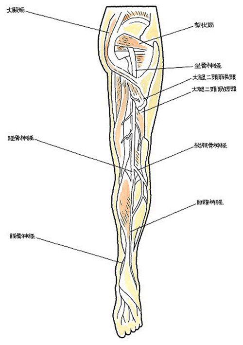 坐骨神経の場所